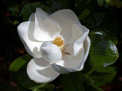 Magnolia grandiflora Goliath - total height 50+ cm - pot Ø 22 cm