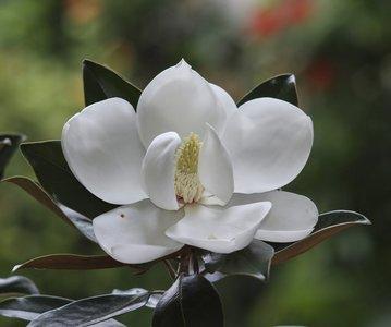 Magnolia grandiflora Little Gem - total height 40+ cm - pot Ø 22 cm