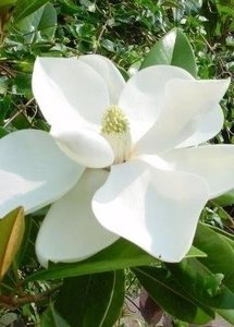 Magnolia grandiflora Francois Treyve - total height 40+ cm - pot Ø 22 cm
