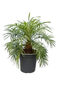 Phoenix roebelenii - trunk 10-20 cm - total height 70-90 cm - pot Ø 32 cm