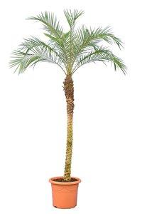 Phoenix roebelenii - trunk 120-140 cm - totale height 200+ cm - pot Ø 45 cm [pallet]