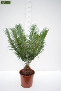 Cycas panzhihuaensis - total height 80-100 cm - pot Ø 28 cm