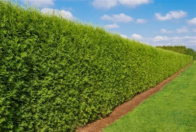Thuja occidentalis Brabant (CONTAINERPLANT) - total height 100-120 cm - pot 5 ltr