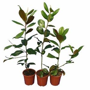 Magnolia grandiflora set of 3: Gloriosa + Goliath + Nantais - pot Ø 22 cm