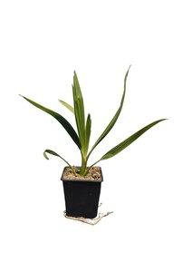 Phoenix canariensis set of 5 - total height 30-40 cm - pot 11 x 11 cm