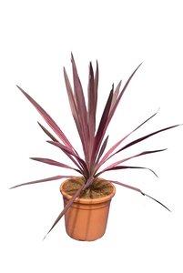 Cordyline australis Southern Splendor - total height 60-80 cm - pot Ø 24 cm
