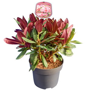 Rhododendron Wine & Roses - total height 35-45 cm - pot 22 cm