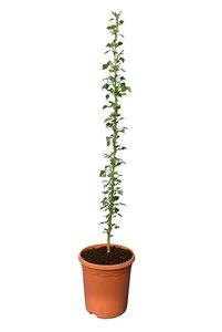 Populus nigra Italica - total height 100+ cm - pot Ø 22 cm