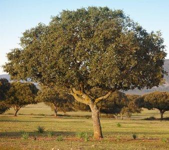 Quercus ilex - total height 130+ cm - pot Ø 21 cm