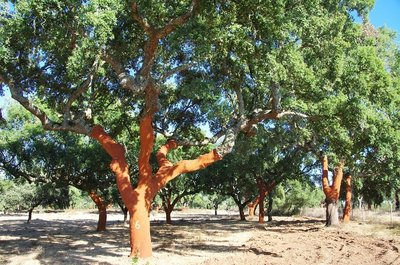 Quercus suber pot Ø 17 cm