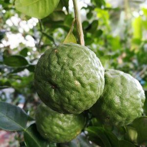 Citrus hystrix - total height 50+ cm - pot 14 x 14 cm