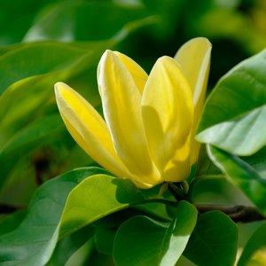 Magnolia × brooklynensis Yellow Bird - total height 100-120 cm - pot Ø 19 cm