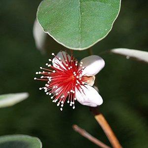 Acca sellowiana - pot 14 x 14 cm
