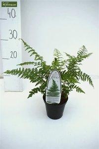 Polystichum Setiferum 0.7 ltr